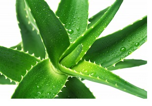 Forever Aloes Vera